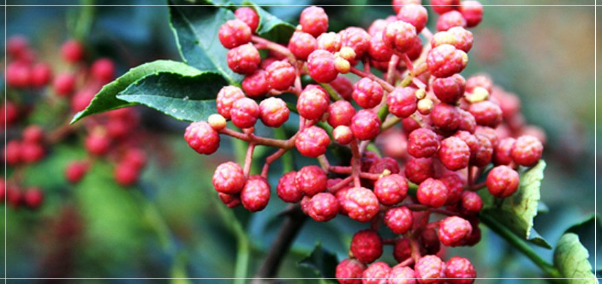 Chinese prickly ash