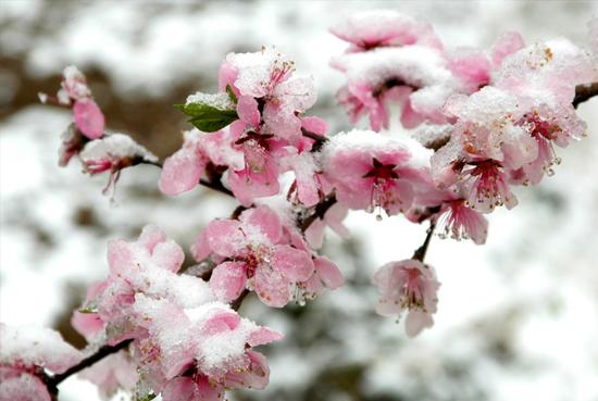 In snow peach blossom